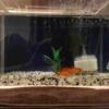 gold-fish-03