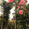 【DIY】超簡単!インパクトドライバで作る薔薇のパーゴラ