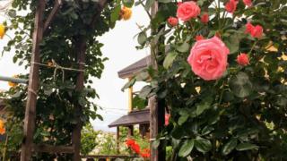 DIYした薔薇のパーゴラ